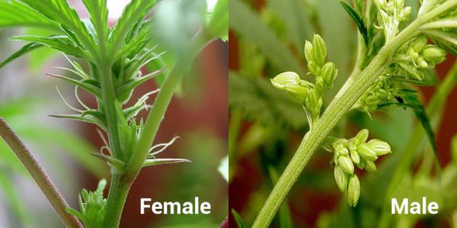 Male and Female Cannabis Plants Banner copy
